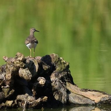 Common sandpiper (Actitis hypoleucos), real wildlife