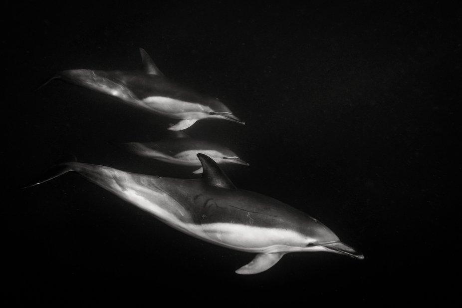 Common Dolphins, Black and white conversion.  Bicheno, Tasmania.