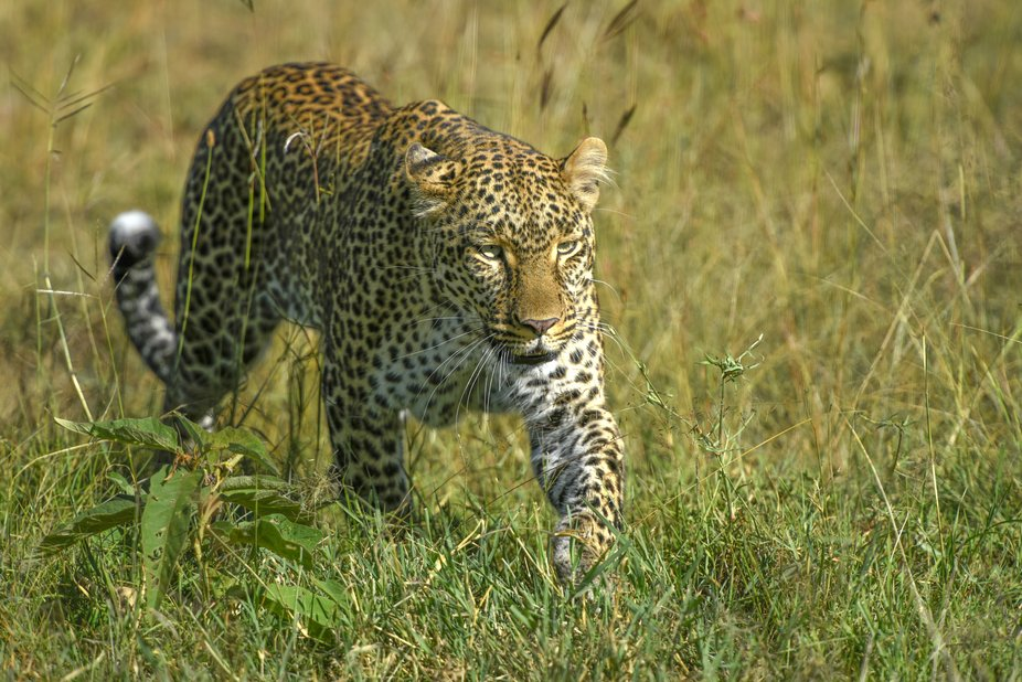 Intent Leopardess