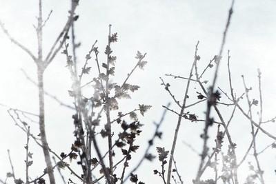 Budding Tree in Xenon Blue Misty Morning