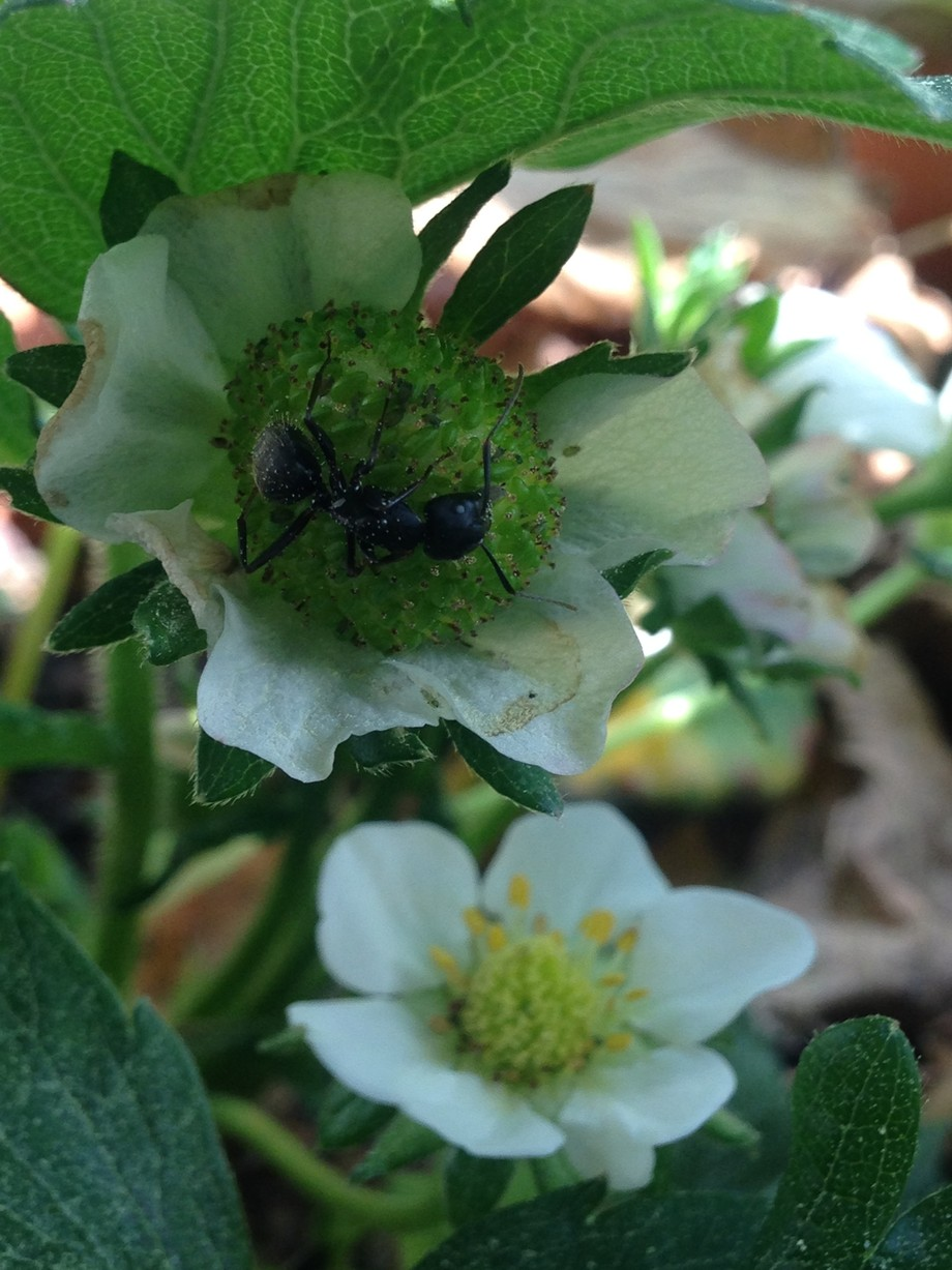 An ant inspects a newly form strawberry while awaiting the arrial of other blooming strawberries.