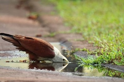 Brahminy kite quenching it's thirst in the warm weather at Bekal, Kerala.
