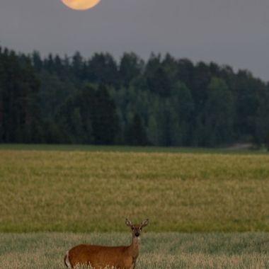 Deer_in_the_moonlight