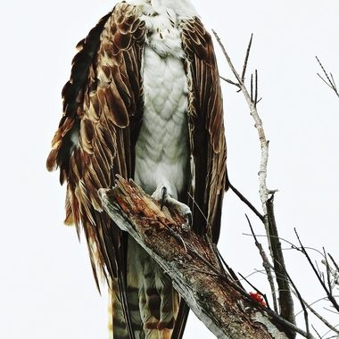 This beautiful female osprey was perched directly above me. She took time to lean over and study me while I earnestly asked for a couple of good poses. I love the effect, it appears we are parallel to each other.