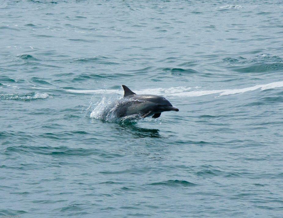 Common dolphin off the coast of Santa Barbara, California