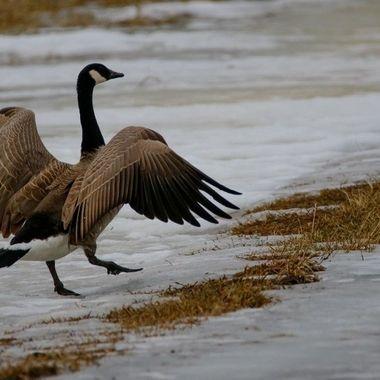 SB_31772466 Goose