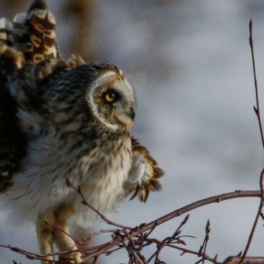 SB_31772519 Shorteared Owl