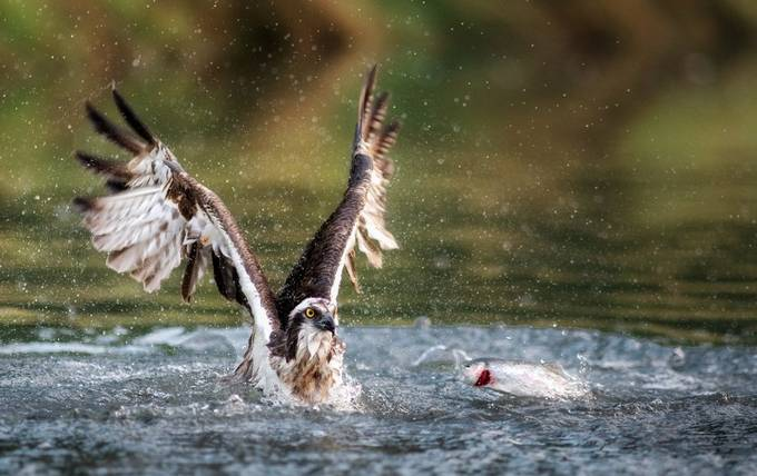 Osprey just missed by Dickiebird - Image Of The Month Photo Contest Vol 35