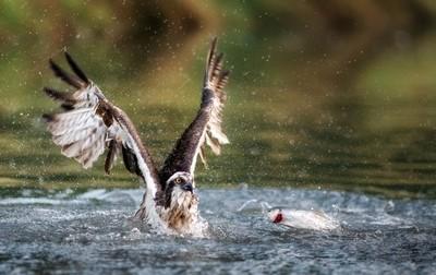 Osprey just missed