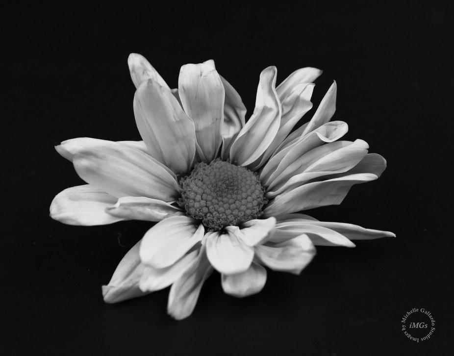 Lone daisy_logo