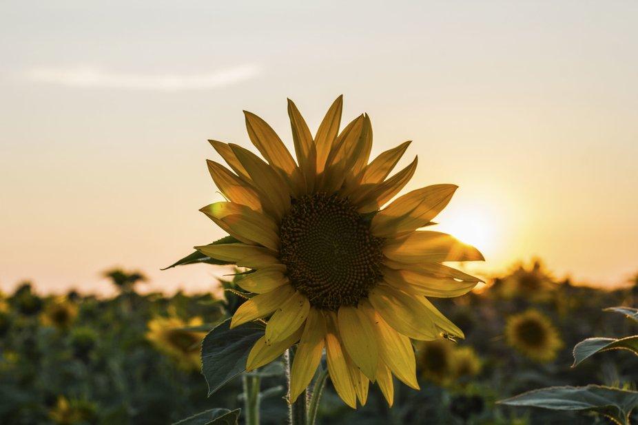 sunset on sunflower