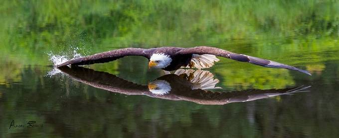 Eagle by AndreSecours - Lakes And Reflections Photo Contest