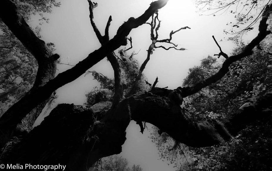 Live Oak reaching for the heavens