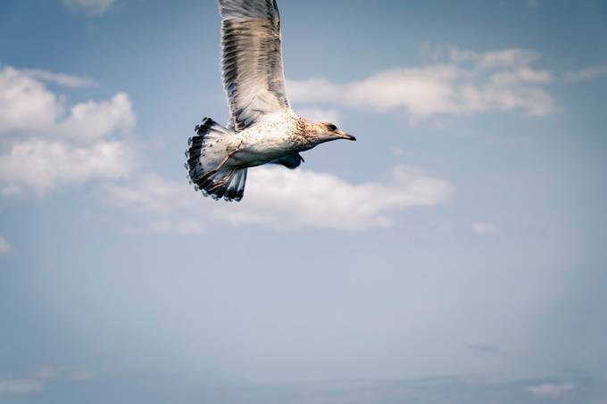Caught this Seagull soaring and catching strong wind currents near Lake Ontario looking for food.
