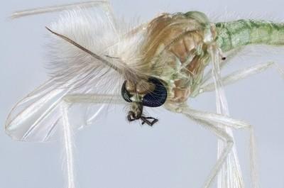 Chironomidae mosquito portrait