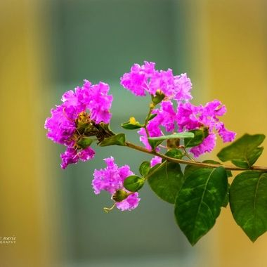 Crepe Myrtle Blossom in Morning Light
