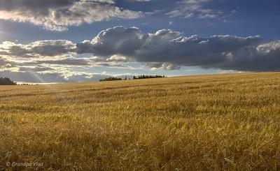 a barley field...