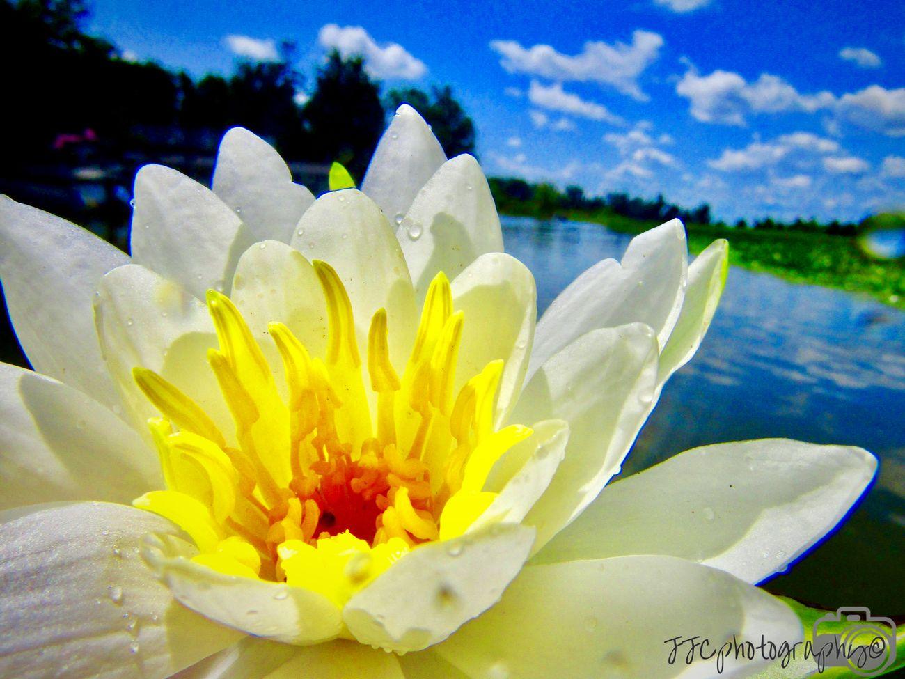LillyPad Lotus