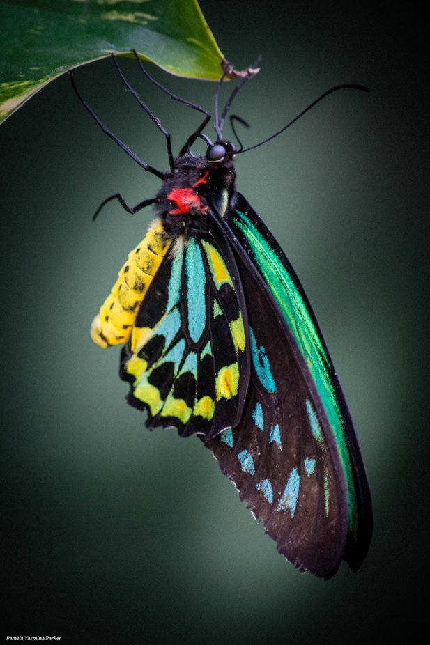 Colorful Cairns Birdwing Butterfly