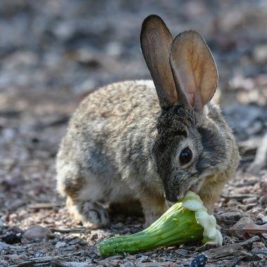 Cottontail Rabbit enjoying a Saguaro Cactus bloom that has fallen to the ground.