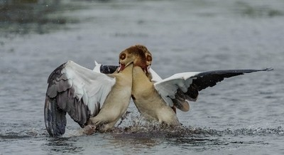 Two Egyptian Geese fighting on the Cobe River.