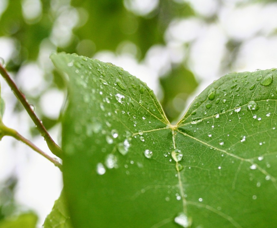 The rain tree