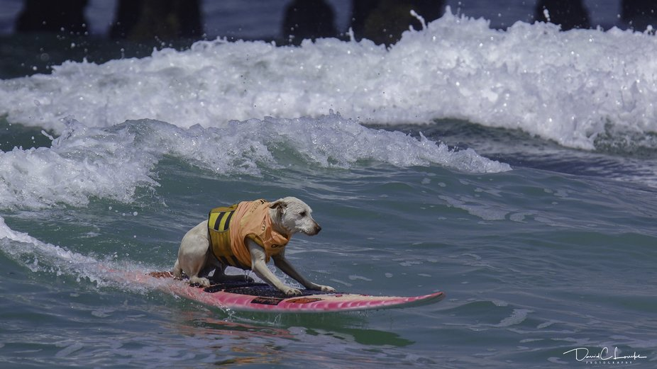 Imperial Beach Surf competition, Dog's only.…...