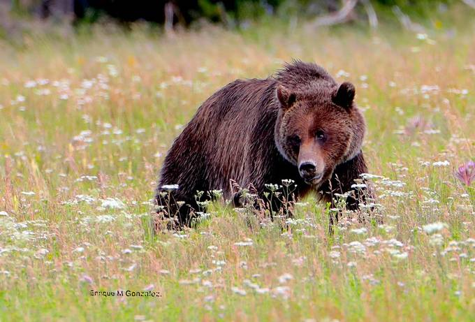Grissly by enriquegonzalez - Bears Photo Contest