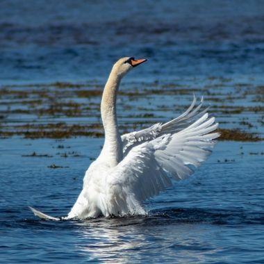 swan-8737