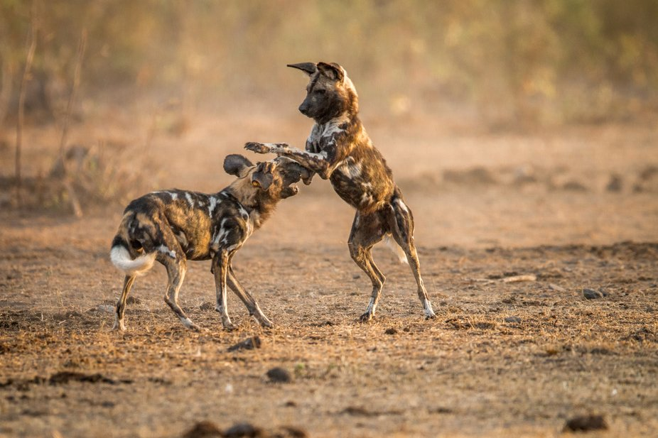 Two African wild dogs playing in the Kruger National Park, South Africa.