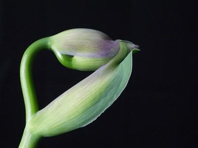 Praying Iris
