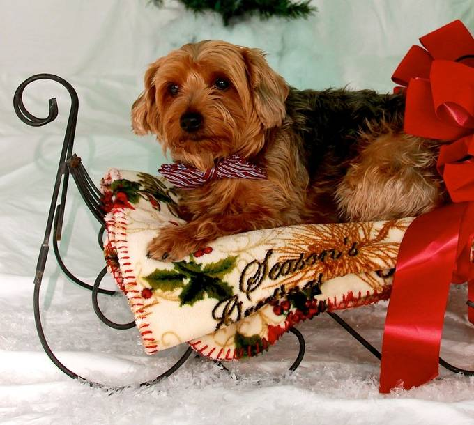 This is my favorite fur baby.  His name is scruffy but often I call him old man because he is 10 and is hard of hearing and blind in one eye.  This was on my Christmas card.