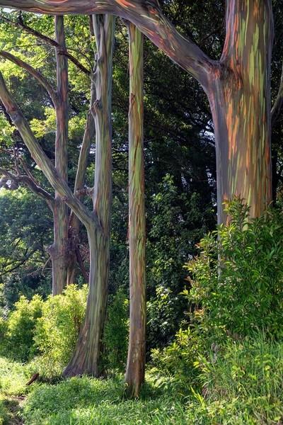 A Rainbow Eucalyptus Stand