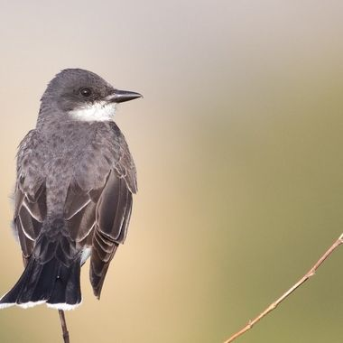 0P6A9519 Kingbird