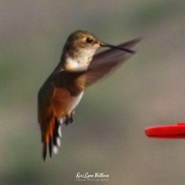 Hummingibird