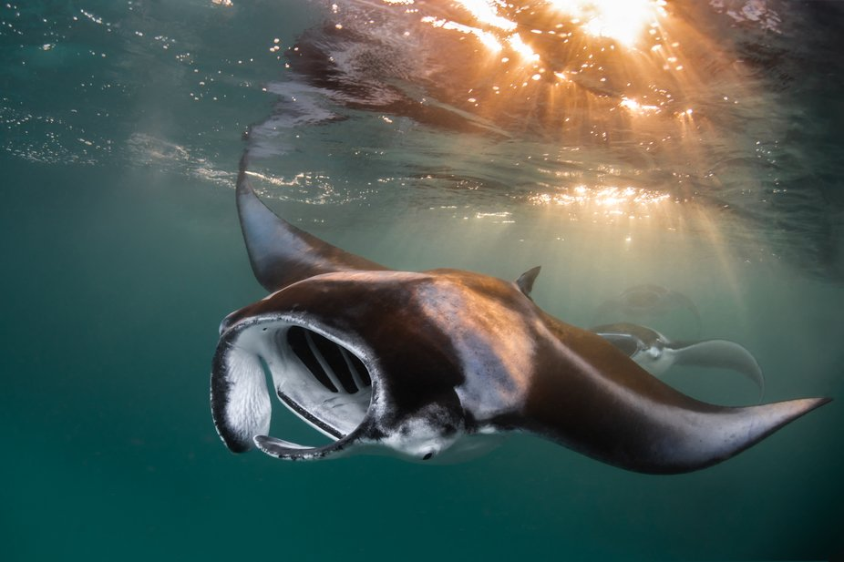 a manta birostris is gracefully appearing in the sunset