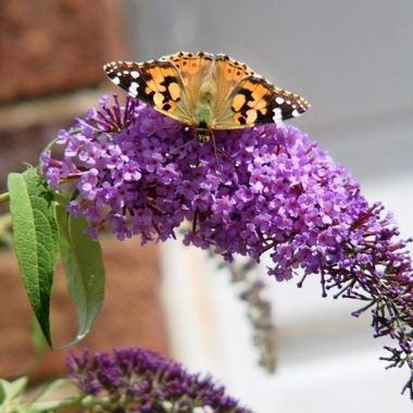 Painted Lady Butterfly on Budlia