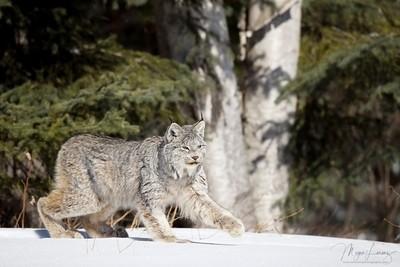 Wild Lynx