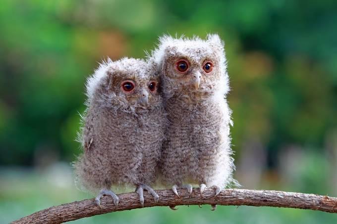Baby owl by kuritoafsheen - Beautiful Owls Photo Contest