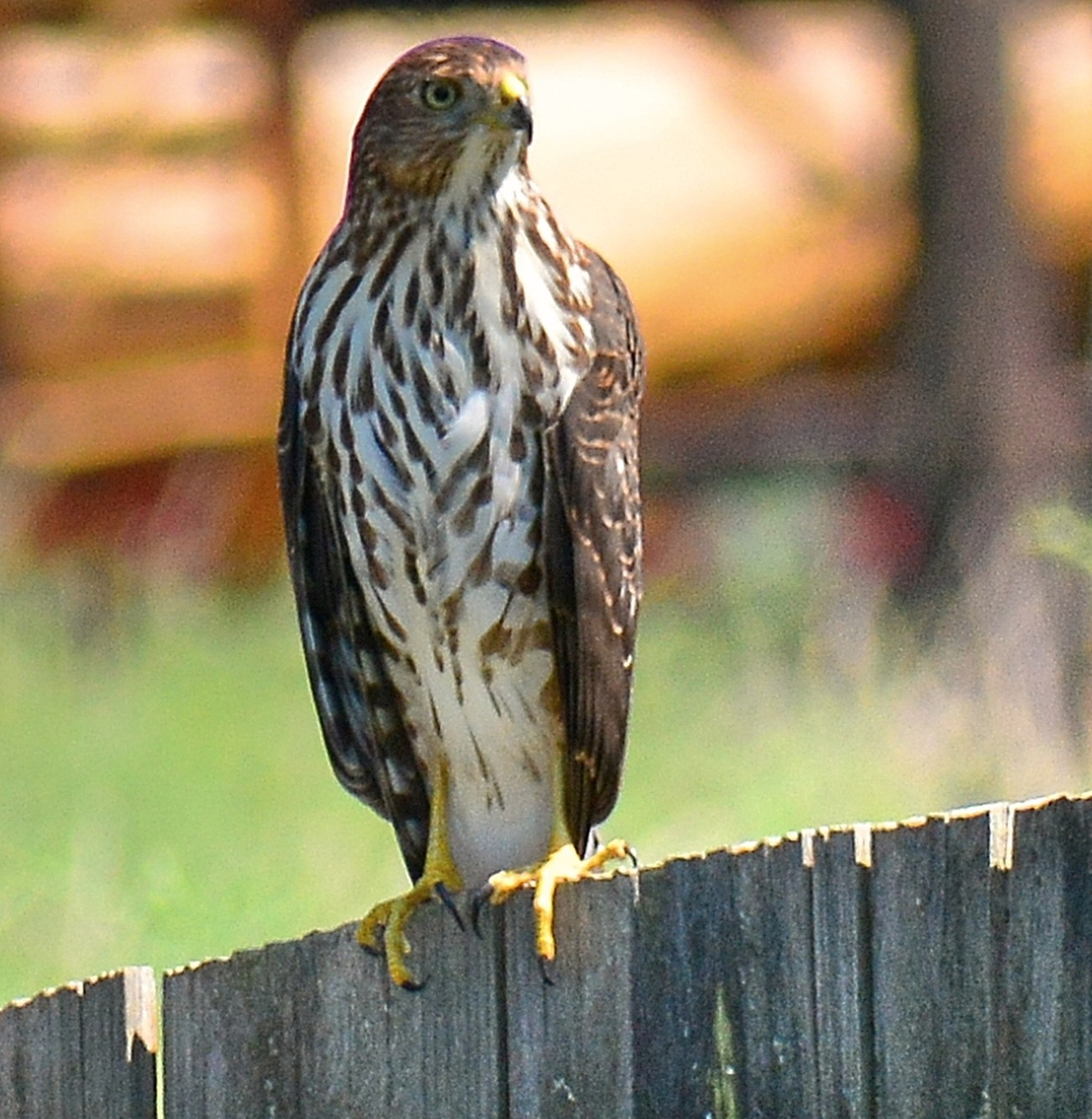 Able to get a shot of this Cooper Hawk one afternoon as he posed on my back fence.