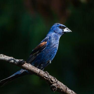 Blue Grosbeak-8592