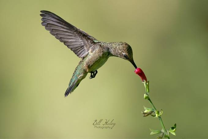 Female Costa's hummimgbird sipping from a salvia plant  by BillHaleyPhotography - Just Hummingbirds Photo Contest