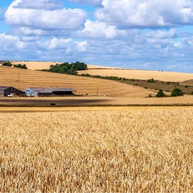 Ripening crop near farm near Bratton, Wiltshire UK.
