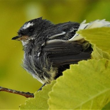 Young N.Z. fantail