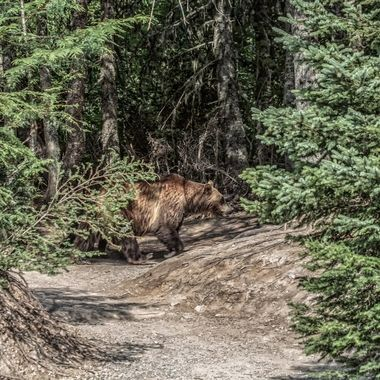If you look closely, you can see the smaller leg of the cub behind/beneath the grizzly sow.  They were about 30 feet from us at Avalanche Lake in Glacier National Park.