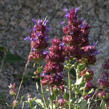 Violet and maroon blooms against a granite background