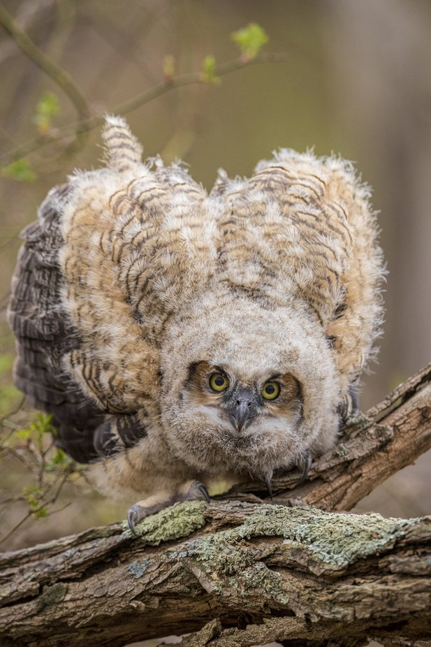 Shields Up by scottdere - Beautiful Owls Photo Contest