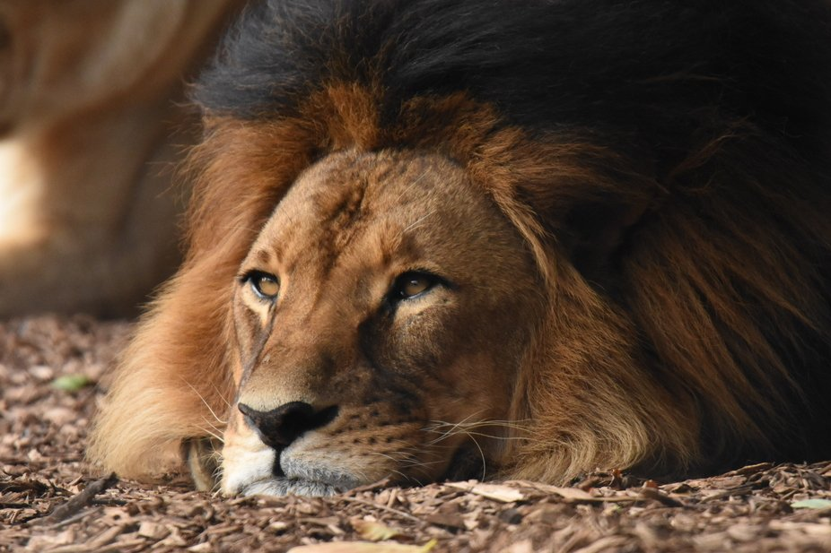 This beautiful lion is in a zoo. He had many medical issues and is lucky to be alive. Absolutely ...