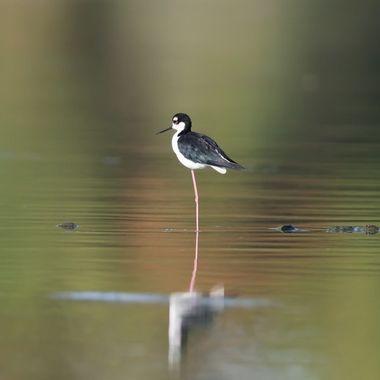 Black-necked stilt-8505