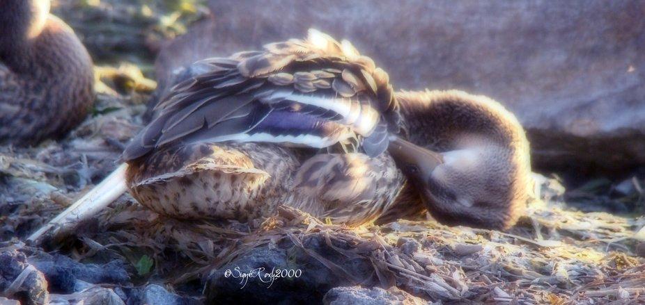 Wild Duck Sleeping